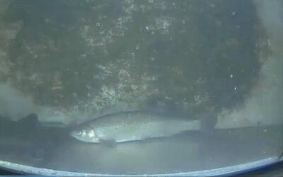Fisch des Jahres: die Nase ist eine typische Fischart in der Wupper