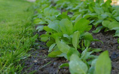 Spinat spürt Sprengstoff im Grundwasser auf